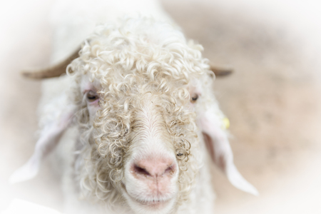 capra: Baby White angora goat (Capra aegagrus hircus) in the stall Stock Photo