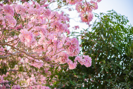 rosy: Tabebuia rosea is a Pink Flower neotropical tree. common name Pink trumpet tree, Pink poui, Pink tecoma, Rosy trumpet tree, Basant rani