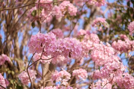 trompeta: Tabebuia rosea es un árbol neotropical flor rosada. nombre común trompeta rosa árbol, poui Rosa, Rosa Tecoma, árbol trompeta Rosy, Basant Rani