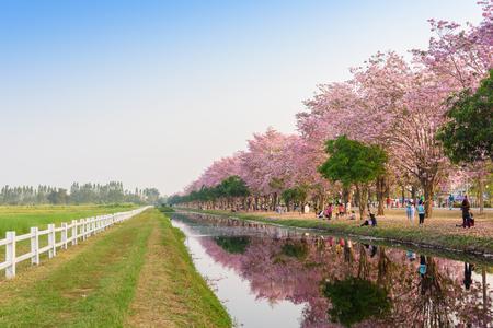 trompeta: Tabebuia rosea es un �rbol neotropical flor rosada. nombre com�n de �rbol Rosa trompeta, poui Rosa, Rosa Tecoma, �rbol trompeta Rosy, Basant Rani en Nakhon Pathom, Kamphaeng Saen, Tailandia el 22 de febrero, el a�o 2016