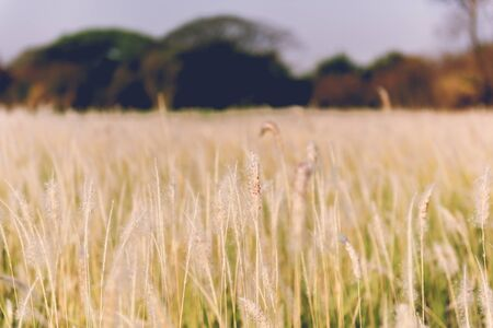 imperata: vintage grass flower field in nature background Stock Photo