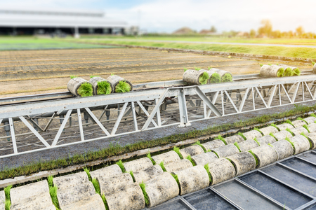 conveyor belt: Transportation forwarders Young rice sprout From the box  By conveyor belt to the truck For planting in the field. Stock Photo