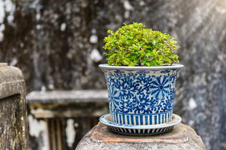 bonsai,Siamese rough bush in the porcelain pots use for the garden or walking in the park