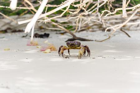 beack: Hairy leg mountain crab on the beack at tachai island, Phuket, Thailand