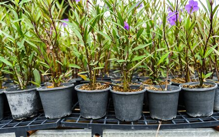 acanthaceae: Purple ruellias flower in garden , Ruellia tuberosa Linn