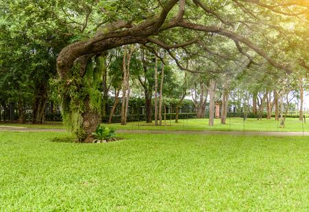 platycerium: decorative garden has large trees decorated with Platycerium ridleyi and Dischidia nummularia Variegate Stock Photo