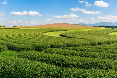 flower fields: Cosmos Fields and Green tea field, , Tea Plantation with blue sky at Chiangrai,  Thailand
