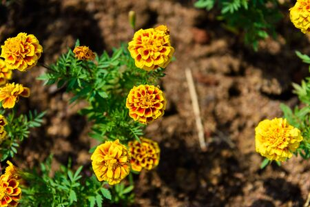 Red and Yellow Marigold Flower in garden