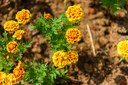 carotenoid: Red and Yellow Marigold Flower in garden