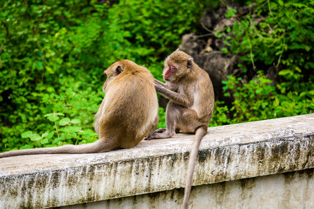 monkeys (crab eating macaque, Macaca fascicularis) grooming one another. naturally in Tourist attractions in Phetchaburi, Thailand. Stock Photo
