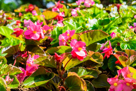 Pretty coral pink flowers, Numerous bright flowers of tuberous begonias (Begonia tuberhybrida) in garden Stock Photo