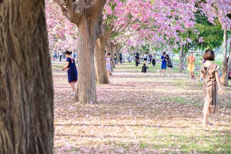 nakhon pathom: Tourists, photographers travel. Tabebuia rosea is Pink Flower neotropical tree. common name Pink trumpet tree, Pink poui, Basant rani in Nakhon Pathom, Kamphaeng Saen, Thailand on April 16, 2017