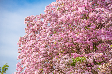nakhon pathom: Tabebuia rosea is a Pink Flower neotropical tree and blue sky. common name Pink trumpet tree, Pink poui, Pink tecoma, Rosy trumpet tree, Basant rani