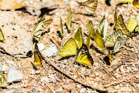 many pieridae butterflies gathering water on floor, Butterflies are feeding mineral in salt marsh in forest, kaeng krachan national park, thailand