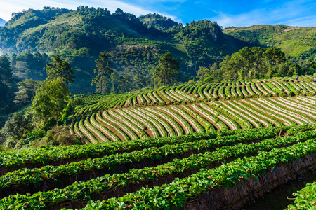 Rows of cultivation strawberries in a strawberry farm at doi angkhang mountain, chiangmai, thailand