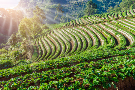 sea of mist morning sunrise in strawberry farm array layer on hill at doi angkhang mountain, chiangmai, thailand Stock Photo