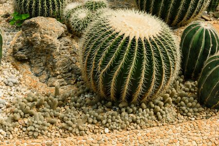 Round shaped cactus on gravel growing in conservatory greenhouse