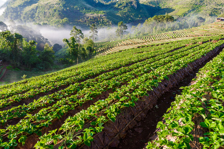 Sea of mist morning sunrise in strawberry farm array layer on hill at Doi Angkhang mountain, Chiang Mai, Thailand