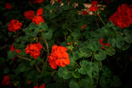 Rote Pelargonium (Geranie) Blume, blüht im Garten
