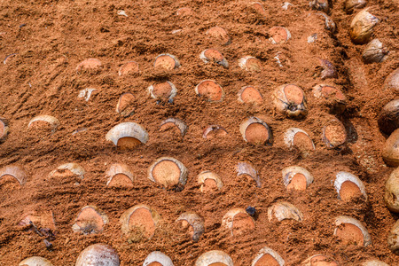 Group of Coconut  is cutting head Arrange, Sort orderly preparations for such varieties for planting coconut trees, Layered bottom, top with coconut shells hair, in the nursery farm