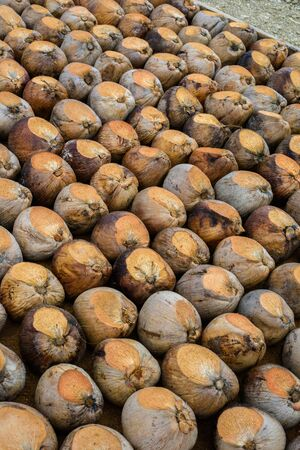 Group of Coconut Perfume is cutting head Arrange, Sort orderly preparations for such varieties for planting coconut trees, Layered bottom with coconut shell's hair, in the nursery farm Stock fotó
