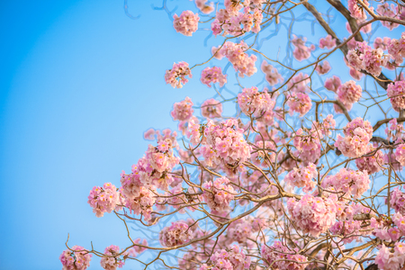 Tabebuia rosea is a Pink Flower neotropical tree and blue sky. common name Pink trumpet tree, Pink poui, Pink tecoma, Rosy trumpet tree, Basant rani