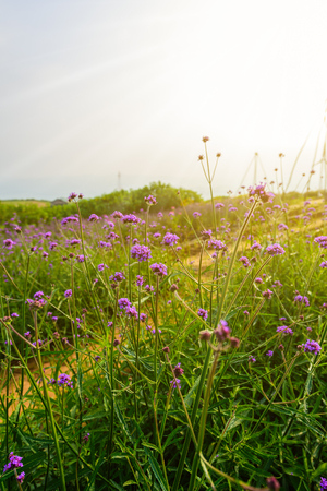 Violet verbena flowers in garden on blurred background with sunshine in the morning