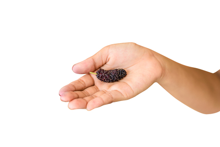 Hand holding organic Mulberry fruit isolated on white background with clipping path Stockfoto