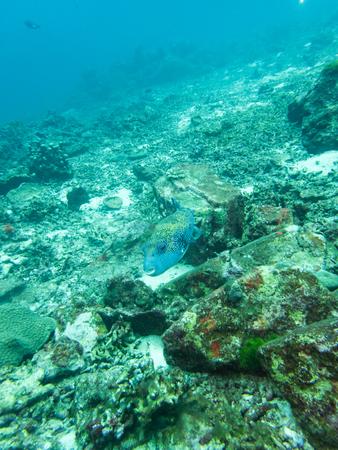 Puffer fish in nature ocean,similan, islands, phuket, Thailand, vertical