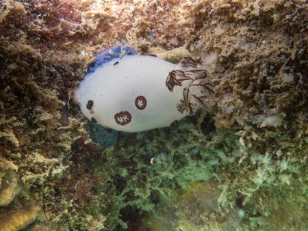 True white sea slug