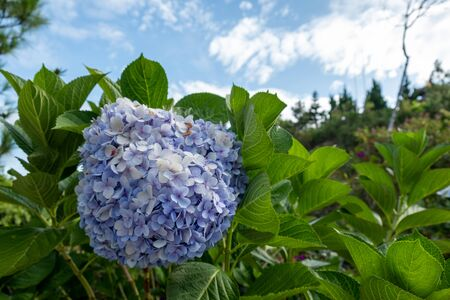 Close Up Purple colors of Beautiful Flower Blooming with Green Leaf Background at Vietnum
