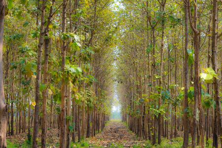 Abstract green tree background.Teak garden