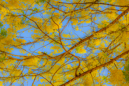 Abstract background with golden shower flower(Cassia fistula)and blue sky
