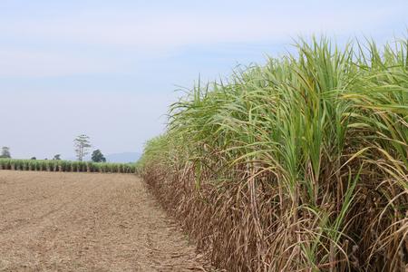 Sugar cane field in rural of Thailand