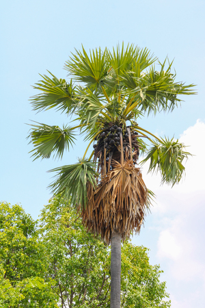 sugar palm tree on blue sky background