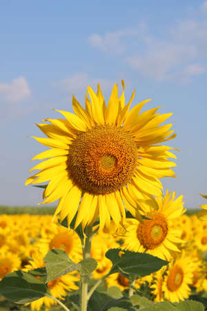 Beautiful sunflower close up at field in Thailand.Sunflower seeds promotes cardiovascular health.Sunflower oil improving skin health