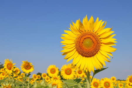 Beautiful sunflower at field in Thailand.Sunflower seeds promotes cardiovascular health.Sunflower oil improving skin health Archivio Fotografico