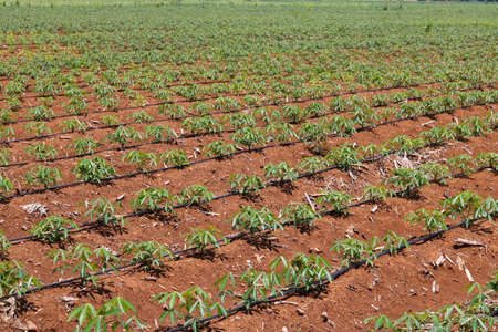 Manioc planting under drip irrigation system