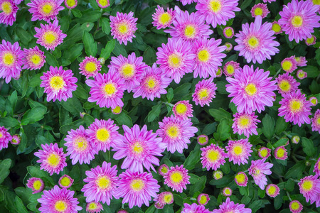 asteraceae: The  purple chrysanthemum flower autumn beautiful  image close up