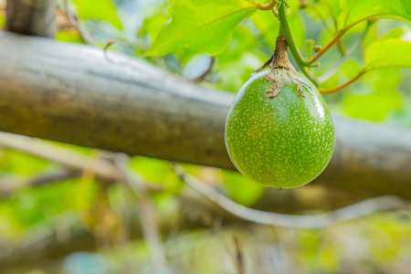 passion fruit flower: green passion fruit on the farm close up image Stock Photo