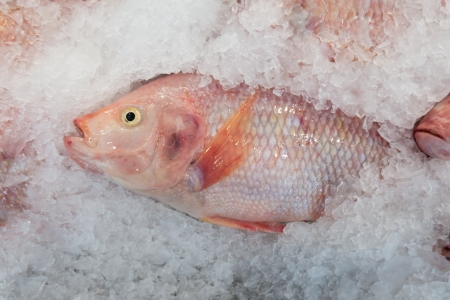 Fresh Ruby fish on Ice  photo