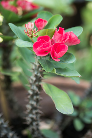 Crown of thorns flowers  Euphorbia milli Desmoul  photo