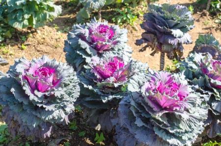 brassica: Longlived Cabbage  Scientific Name  Brassica Hybrid