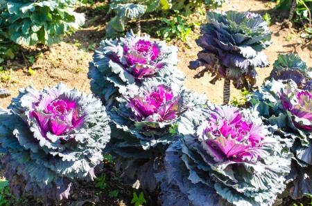 brassica: Longlived Cabbage  Scientific Name  Brassica Hybrid    Stock Photo