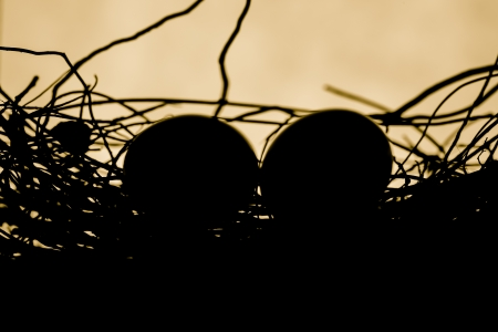 Zebra dove egg in the nest Silhouette photo
