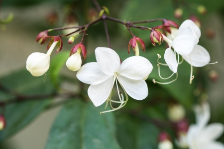 Close up white lovely flower Clerodendrum wallichii, Clerodendrum nutans,Bridal veil
