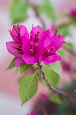 Close up Bunch of Purple Bougainvillea flower in the garden