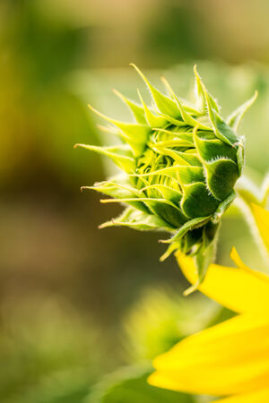 sunflower bud in the field photo