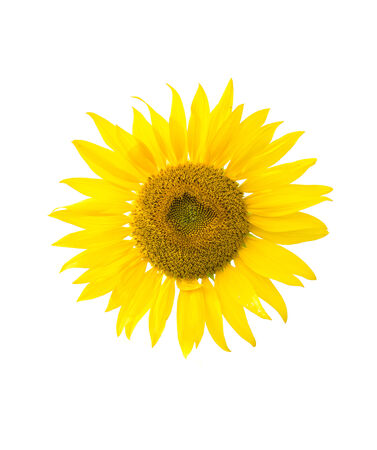 sunflower isolated on white photo