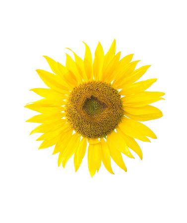 sunflower isolated on white photo